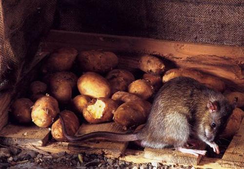 weltweit-groesste-rattenvergiftung