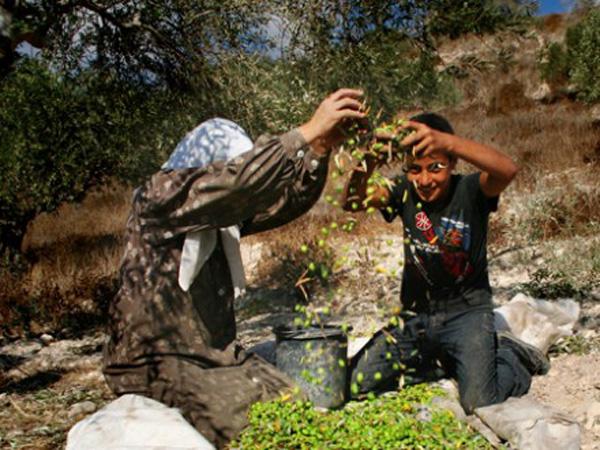 palaestina-olivenbaumernte-israel