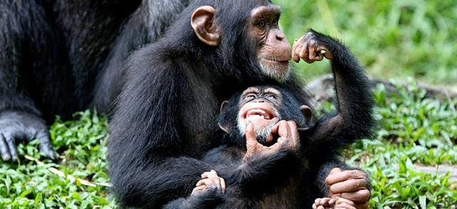 schimpansen-nahrung-kuschelhormon