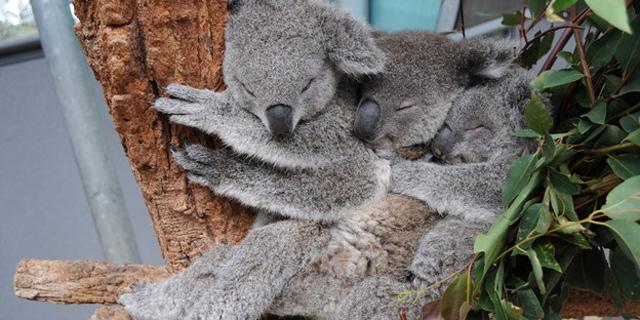 koala-kuscheln