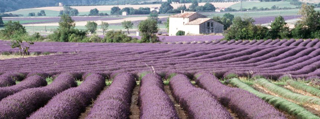lavendelfeld-provence