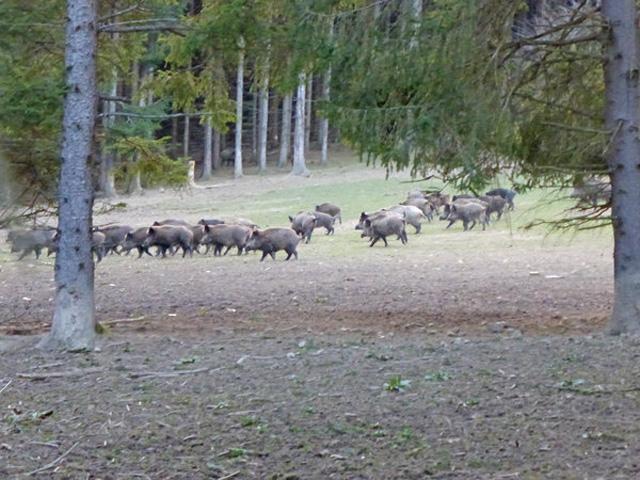 oesterreich-prominente-wildschweinjagd